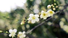 (aelx911) Tags: plant flower nature bokeh sony taiwan taipei carlzeiss a7ii a7m2 fe35mm a7markii sel35f14