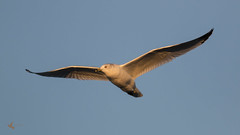 Ring-billed Seagull (_BirdsTheWord_) Tags: sea lake nature birds canon golden gull hour carlyle 70d canonef40056l