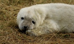 3B4A2070 (Janet-Hedger) Tags: seals donnanook janethedger