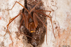 IMG_8906 Calakmul - Loxosceles (fabianvol) Tags: portrait macro mexico spider arachnid selva mexique araa fort termite araigne arachnida arachnide predation tropicale venimeux proie