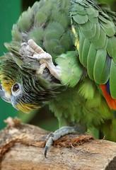 Orange-winged Amazon Parrot (Annette Rumbelow) Tags: bird amazon beak feathers preening parrot wiltshire captive longleatsafaripark orangewinged birdpreening annetterumbelowwilson longleatgrounds