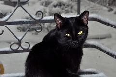 midnight (greenelent) Tags: nyc winter blackandwhite snow brooklyn cat blackcat photoaday 365