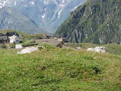 Murmeltier am Schneeberg (ffgc.slf) Tags: italien wandern sdtirol schneeberg murmeltier 2015 bergwerk 26072015 schneebergwerk
