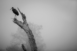 LIMKIN (Aramus guarauna) Cirble B. Bar Lakeland