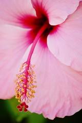 Hibiscus (mara.arantes) Tags: brazil plant flower macro brasil digital nikon flickr pistil petal hibiscus serene ibisco