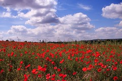 Poppy field in Dartford, Kent (rebecca_simmons87) Tags: flowers summer england sky nature beautiful canon landscape kent poppies dartford poppyfield 70d