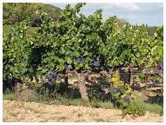Côtes-du-Rhône (abac077) Tags: france 30 vineyard paysage grape vigne raisin gard cotesdurhone 2015 côtesdurhône
