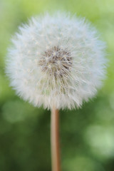 Making Wishes on Dandelions. (LisaDiazPhotos) Tags: plant nature beauty photos lisa dandelions diaz