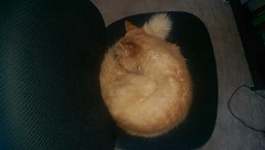 Neko curled into a little ball (and warming her nose in her tail) (drayy) Tags: sleeping orange cat chair maine coon neko curledup ggg cc100 oreengeness velvetpaws thebiggestgroupwithonlycats