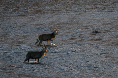 Crossing (Ginger Snaps Photography) Tags: red wild nature water animal canon river scotland stag crossing sigma deer highland strathconon