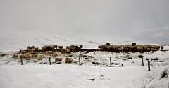 Feeding Time IMG_7116 (Ronnierob) Tags: snow voe shetlandisles