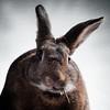 Do I have something in my teeth? (Jeric Santiago) Tags: pet rabbit bunny animal eating conejo teeth basil chewing lapin hase kaninchen うさぎ 兎 winterrabbit