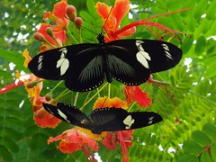 Brightly Black. Heliconius doris, Doris Longwing, on The-Pride-of-Barbados, Caesalpinia pulcherrima, Natura Artis Magistra, Amsterdam, The Netherlands (Rana Pipiens) Tags: flower butterfly caesalpiniapulcherrima dorislongwing heliconiusdoris theprideofbarbados naturaartismagistraamsterdamthenetherlands
