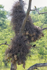 Community Nest (brainstorm1984) Tags: birds southafrica community nest wildlife safari vgel sdafrika colony krugernationalpark mpumalanga krugerpark krgernationalpark kolonie southernmaskedweaver ploceusvelatus redbilledbuffaloweaver bubalornisniger maskenweber bffelweber africanmaskedweaver
