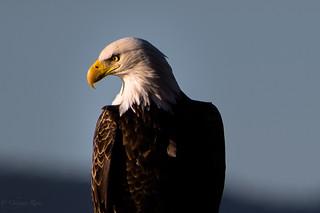 Bald eagle ( Haliaeetus leucocephalus )
