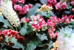(Sunshine Thief) Tags: summer flower film sunshine analog 35mm garden 50mm evening succulent singapore venus olympus wanderlust fujifilm zuiko om1