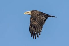 AMERICAN BALD EAGLE (nsxbirder) Tags: ohio baldeagle haliaeetusleucocephalus brookville whitewaterriver franklincounty subadultiv leveerdbrookville