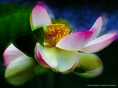Lotusblüte (Erwin Lorenzen) Tags: flower nature flora lotus natur pflanze elo blume lotusflower nelumbonaceae indische lotos nelumbo lotusblüte wasserpflanze nelumbonucifera lotusblume lotosblume