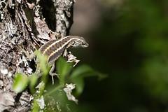 Liolaemus pictus en PN Tolhuaca (Cristian Becker) Tags: nikkor 80400mmf4556dvr d810 liolaemuspictus pntolhuaca