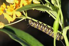 Monarch caterpillar on butterfly weed (greenkayak) Tags: florida caterpillar monarch february valrico butterflyweed danausplexippus