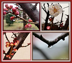 """All raindrop reflections are nature's artwork."" (martian cat) Tags: plum macro japaneseplumblossoms ume ©martiancatinjapan allrightsreserved© flower nature treeblossoms ©allrightsreserved martiancatinjapan© prisms rain waterdropsmacro raindrops reflection waterdrops naturalraindrops diamondclassphotographer flickrdiamond ☺allrightsreserved allrightsreserved ☺martiancatinjapan martiancat martiancat© ©martiancat martiancatinjapan"