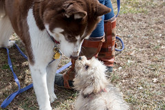 Embracing differences (sturner404) Tags: winter dog dogs yorkie virginia vineyard husky siberianhusky poodle february 2016 yorkiepoo cobblermountain