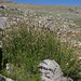 lemon sagewort, Artemisia michauxiana