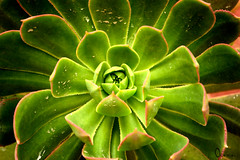 Bejeque (OirenArt) Tags: colour nature photo flora canarias bejeque oiren