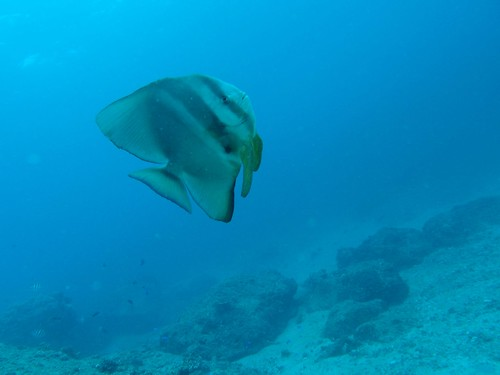batfish in pursuit