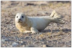 Baby seal - Baby van de grijze zeehond op Düne - Helgoland (Martha de Jong-Lantink) Tags: düne halichoerusgrypus greyseal helgoland 2015 grijzezeehond winterreis kegelrob winterreishelgoland plaatjesmakers