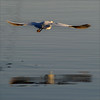 . (me*voilà) Tags: bird water lines reflections flight egret onblue cafiles