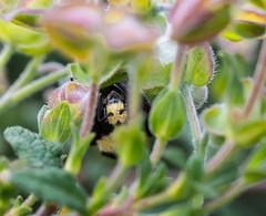 Up-side down World. (Omygodtom) Tags: wild abstract flower macro nature bug insect spring nikon natural bokeh wildlife bee bumblebee existinglight tamron animalplanet tamron90mm d7100 elitebugs