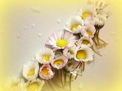daisy parade (hatschiputh) Tags: green water spring parade daisy roa blpssom
