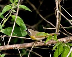 Common Yellowthroat (Geothlypis trichas) (Mary Keim) Tags: centralflorida taxonomy:binomial=geothlypistrichas lakeapopkanorthshorerestorationarea marykeim