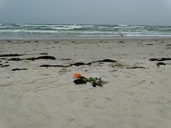 Abschied (Manuela Vierke) Tags: beach rose strand germany deutschland sand pflanze balticsea insel blume rgen strandgut tod ostsee mrz abschied mecklenburgvorpommern trauer 2016 prora verlust meckpomm seebestattung