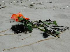 Verweht (Manuela Vierke) Tags: beach rose strand germany deutschland sand pflanze balticsea insel blume rgen strandgut tod ostsee mrz abschied mecklenburgvorpommern trauer 2016 prora verlust meckpomm seebestattung