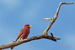 cinnamon roller1 (eurystomus glaucurus) (Colin Pacitti) Tags: bird animal outdoor roller botswana chobe wildbird coth colourfulbird eurystomusglaucurus eiap fantasticwildlife coth5 birdperfect cinnamonroller hennysanimals