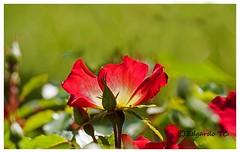 En el corazn de la Flor..._DSC3599 (edgardotc) Tags: flower macro primavera flor hana haru khalilgibran suma japn sonya700 sumarykyukoen edgardotc edgardojpn edgardotejadacueva