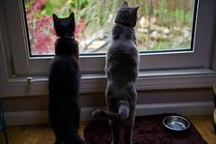 Bird watching! (ineedathis, Keep on Ticking!) Tags: family boy cats pets black male window girl animals female garden grey furry watching lara felines ziggy russianblue nikond750