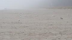 Mwen im Nebel (Manuela Vierke) Tags: bird beach strand germany deutschland nebel seagull balticsea insel vgel rgen mwe ostsee mwen mrz regen vogel binz mecklenburgvorpommern 2016 meckpomm