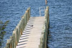 Morning Visitors (eyriel) Tags: morning shadow bird water birds creek dock stream gull gulls