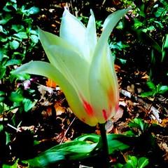 Fire in the belly (r.s.ophir) Tags: day naturallight stamford naturephotography digitallyenhanced naturalcomposition tulipblooming flowersinnaturalsetting