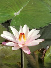 pink beauty (oneroadlucky) Tags: pink plant flower nature waterlily lotus