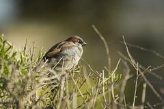 House Sparrow - Passer Domesticus (Al Glenton - Norfolk images) Tags: house bird nature birds canon al wildlife norfolk images sparrow hedge 5d domesticus passer 70200mm mk3 rspb glenton