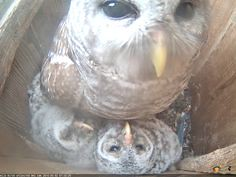 Mama owl says, good (Wild Birds Unlimited) Tags: wild birds good mama owl says unlimited inc