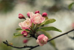 (mennomenno.) Tags: nature spring blossom natuur lente bloesem
