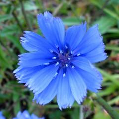 Blue flower (Hlne_D) Tags: mountain plant france alps flower fleur montagne alpes plante aviary alongtheroad drme isre rhnealpes luslacroixhaute coldelacroixhaute planetearthourhome hlned croixhaute lacroixhaute