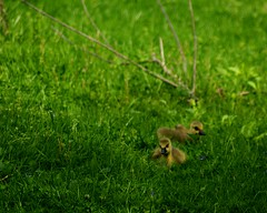 goslings (LaLa83) Tags: ohio baby green nature grass animals yellow outdoors spring sony feathers may fluffy marcy hike goose goslings alpha metroparks 2016 a230 slaterun pickawaycounty ruralohio slaterunmetropark ohiofoothills exploreohio