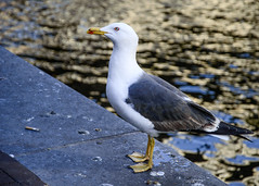 Dutch Seagull (aksielza) Tags: netherlands amsterdam naturebynikon