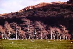 Whispering Trees (Fr Paul Hackett) Tags: mountain tree landscape farmland wade
